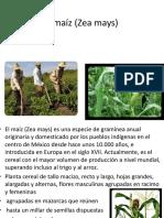 Proyecto maíz zea maya