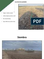 Cultivo algodon Unsa1