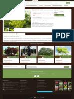 Fag Dawyck Auriu - GardenExpert.ro