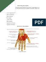 Anatomia de La Mano 2