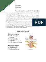 La Estructura de La Medula Espinal