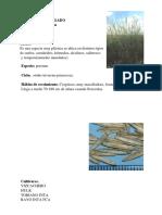 Agropiro Alargado EspeciesForrajerasGramineas ISEA 10