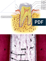 Pulpa Ciment Ligament