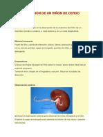 diseccion riñon de cerdo.pdf