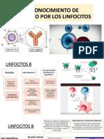 reconocimiento de antígenos por linfocitos
