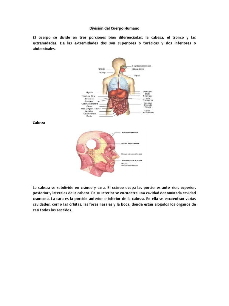 División del Cuerpo Humano