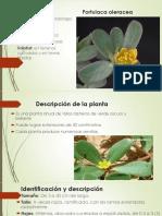 plantas cervaceas