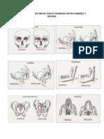Diferencias Anatómicas Óseas Promedio Entre Hombres y Mujere