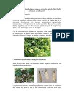 Planta_trepadora_indigena_con_potencial_apicola