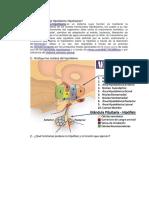 hipotalamo-hipofisario