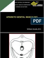 Sistema Genital Masculino Prof William Acosta