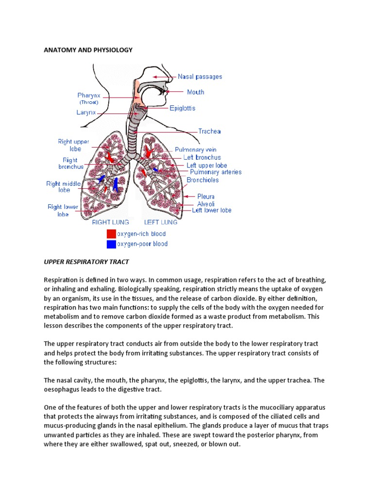 Anatomy and Physiology | Respiratory Tract | Lung