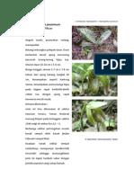 Paphilopedilum javanicum