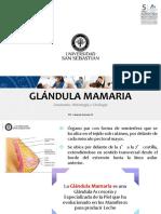 11. AnatoHistoCito Mama (1)