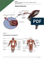 generalidades-del-sistema-muscular