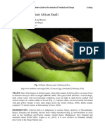 Achatina fulica- Giant African Snail