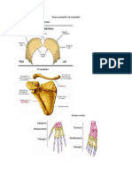 Hueso parietal y el omoplato