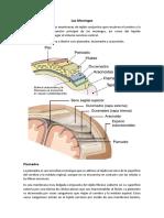 Neuroanatomia - Las Meninges