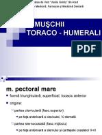 2. M toraco-humerali