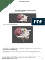 Lóbulo frontal_ áreas y funciones