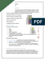 ANATOMIA DEL MEDIASTINO.docx