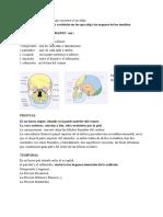 LOS_8_HUESOS_DEL_CRANEO_son_2.pdf