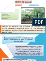 cultivodebanano-copia-131203100113-phpapp02