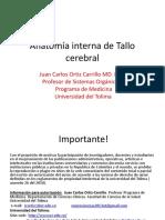 Anatomia interna Tallo Cerebral