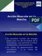 accion muscular