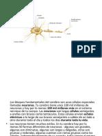 presentacin-neuronas-1231347911886293-2