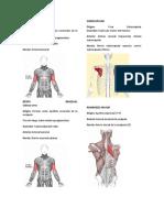 origen e inserción de músculos