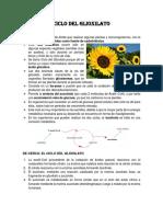 RESUMEN CICLO DEL GLIOXILATO
