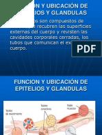 FUNCION Y UBICACION DE LOS EPITELIOS Y GLANDULAS IV