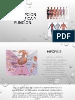 Descripción anatómica y función.pptx