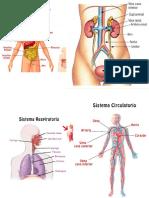 El aparato digestivo esquema