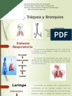 Laringe traquea y bronquios