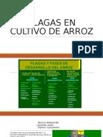 PLAGAS EN EL CULTIVO DE ARROZ.pptx