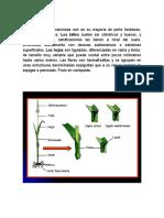 caracteristicas botanicas