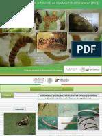 Guia de síntomas y daños de Palomilla del nopal