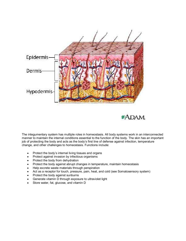 The integumentary system has multiple roles in homeostasis | Skin ...