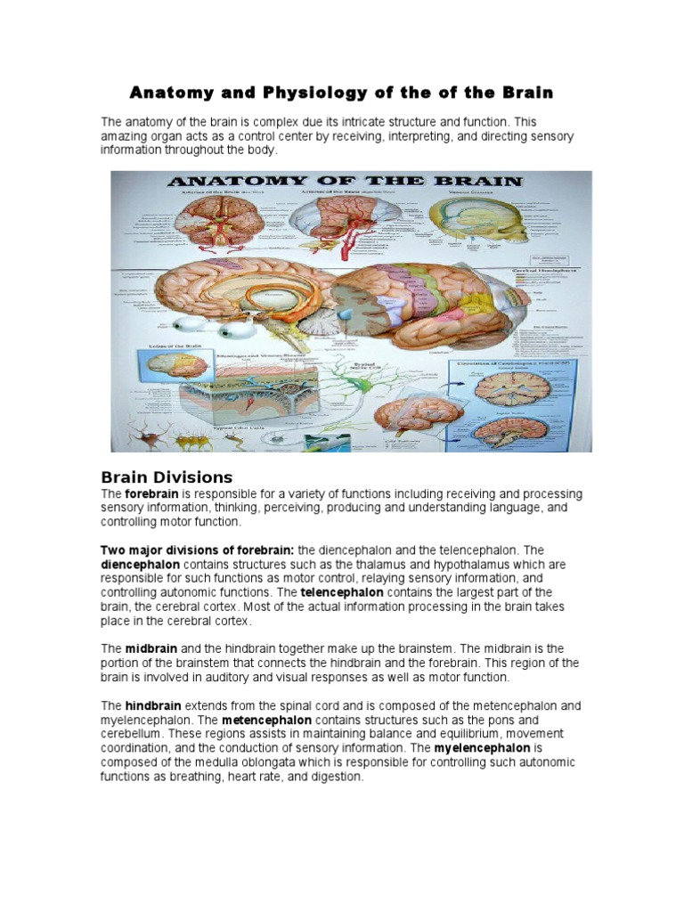 Anatomy and Physiology of the of the Brain | Cerebrum | Brainstem
