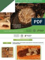 Guia de Sintomas y Daños-Complejo escarabajo marchitez del laurel rojo