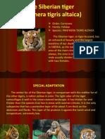 PROIECT  TIGRUL SIBERIAN