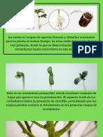 Anatomia del cannabis.pdf