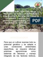 RESPUESTAS FENOTÍPICAS DE HIBRIDOS DE MAIZ CONVENCIONAL Y.pptx