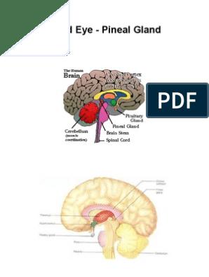 Third Eye Pineal Gland   Organ (Anatomy)   Human Anatomy