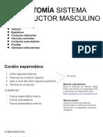 Anatomia reproductor masculino