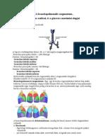 56. bronchopulmonalis segmentum-bronchusok oszlásai