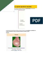 Sistema o aparato reproductor masculino 2