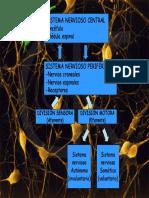 04 Neuronas y potenciales de acción